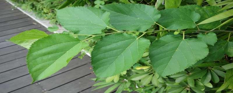 什么样的桑树适合养蚕吐丝