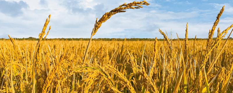 水稻有哪些病虫害