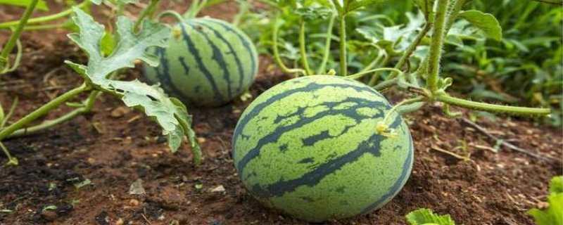 西瓜种植时间