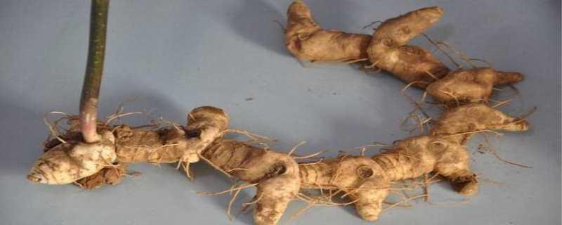 黄精种植技术